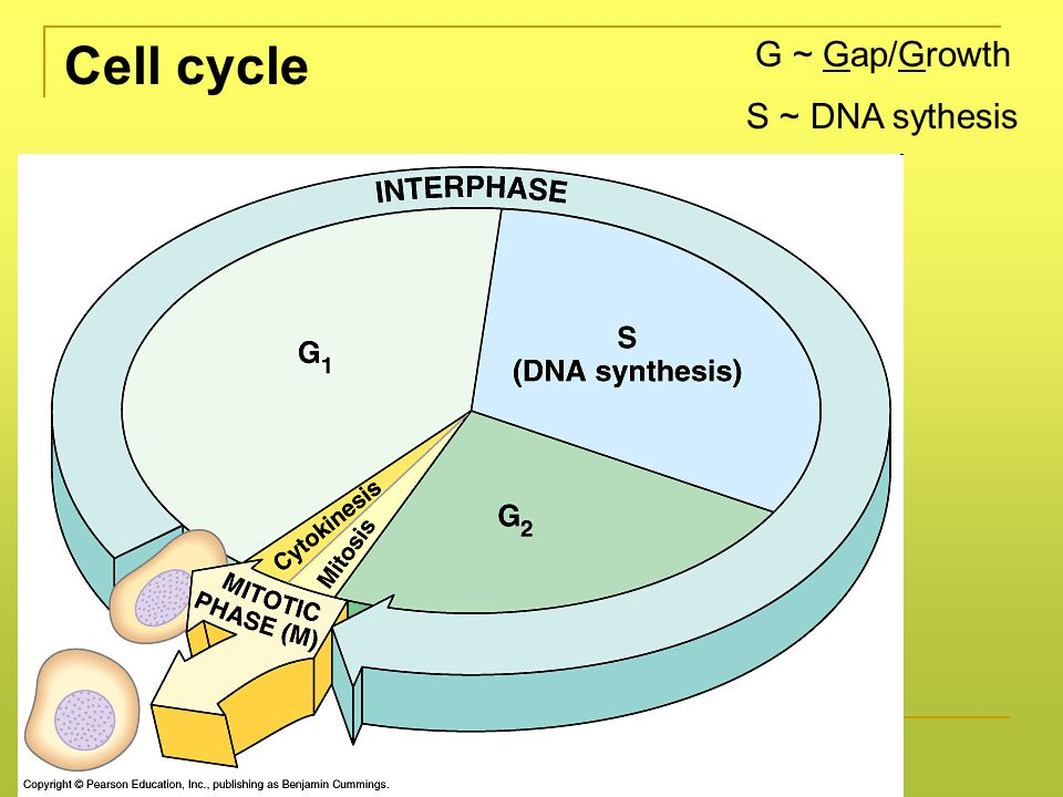 G ~ Gap/Growth Cell cycle S ~ DNA sythesis