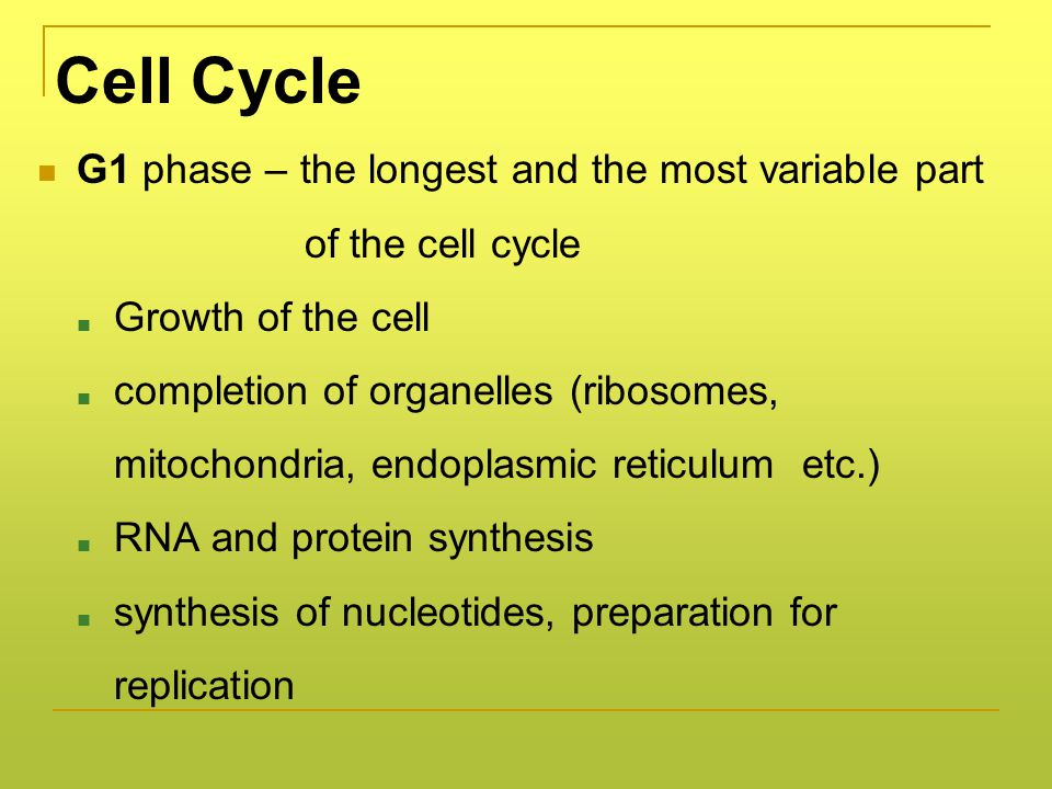 Cell Cycle G1 phase – the longest and the most variable part of the cell cycle ■ Growth of the cell ■ completion of organelles (ribosomes, mitochondria, endoplasmic reticulum etc.) ■ RNA and protein synthesis ■ synthesis of nucleotides, preparation for replication