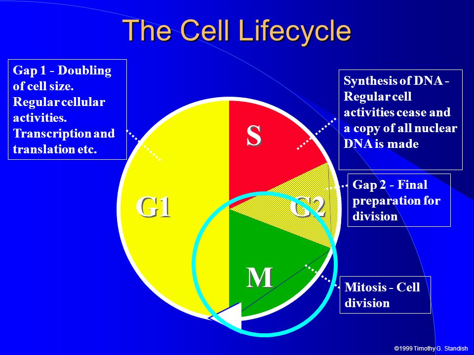 ©1999 Timothy G. Standish G1 M M G2 S S The Cell Lifecycle Gap 1 - Doubling of cell size.