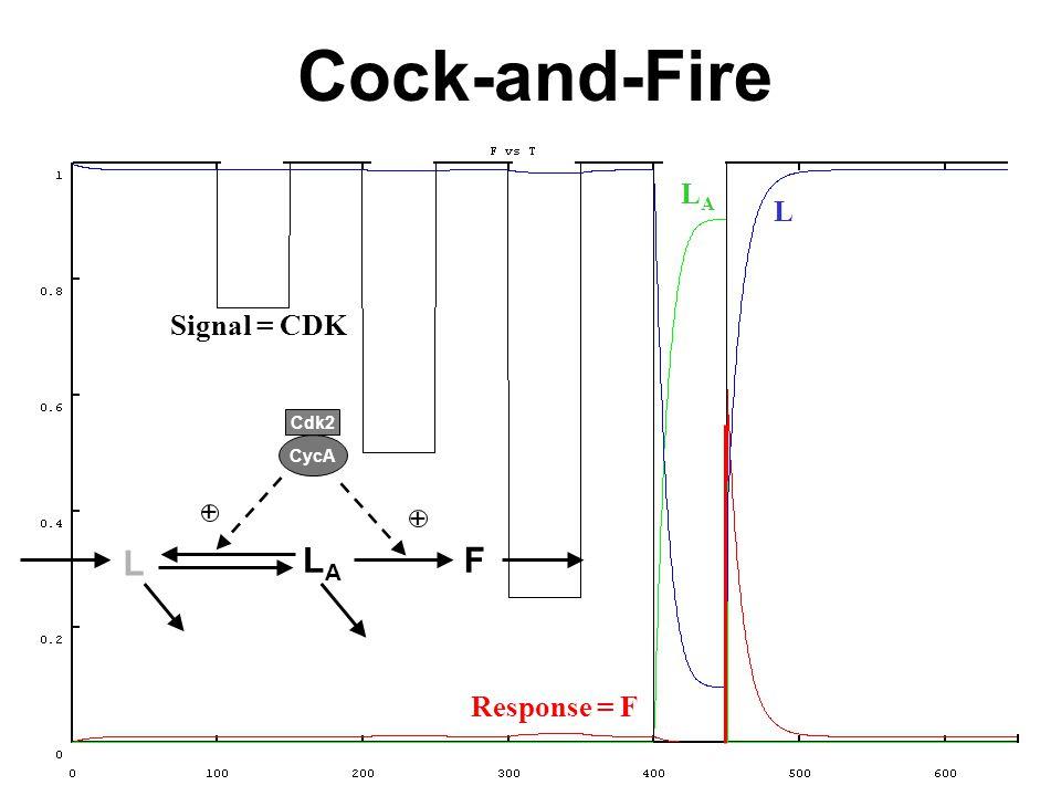 LALA Response = F L Signal = CDK Cock-and-Fire LALA L + Cdk2 CycA F +