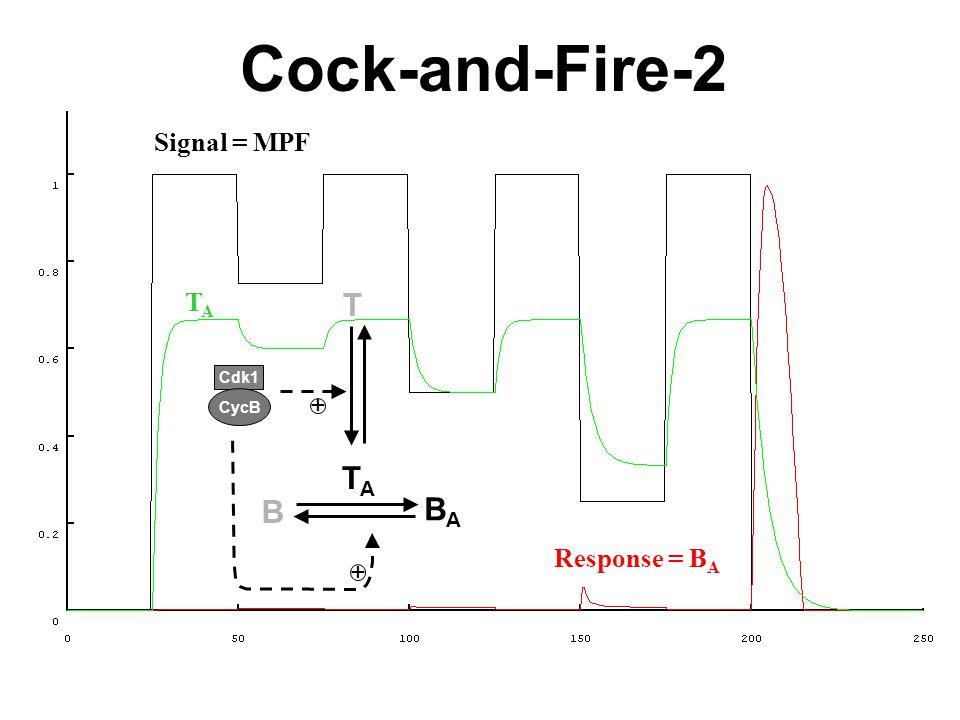 Signal = MPF Response = B A TATA T TATA BABA B + + Cdk1 CycB Cock-and-Fire-2