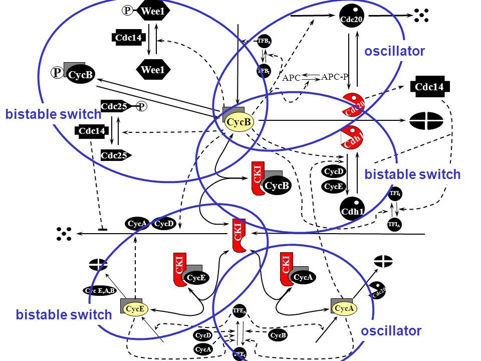 P Wee1 P Cdc25 CycB P Cdc20 Cdh1 CKI CycB CKI CycA APC-P APC TFB I TFB A CycE CycD TFE A TFE I Cyc E,A,B CycE TFI A TFI I Cdc20 CKI CycE Cdc14 CycA CycB CycD Cdh1 CycD bistable switch oscillator Cdc25