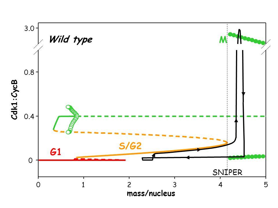 012345 0 0.4 0.8 3.0 mass/nucleus Cdk1:CycB G1 S/G2 M Wild type SNIPER