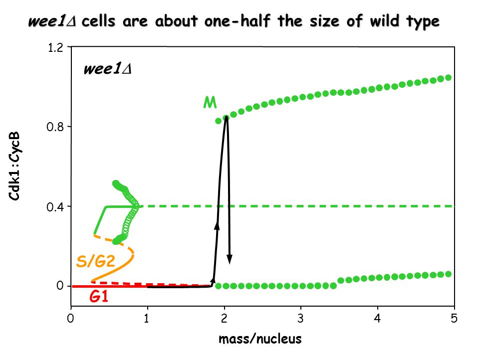 wee1  mass/nucleus Cdk1:CycB G1 S/G2 M wee1  cells are about one-half the size of wild type