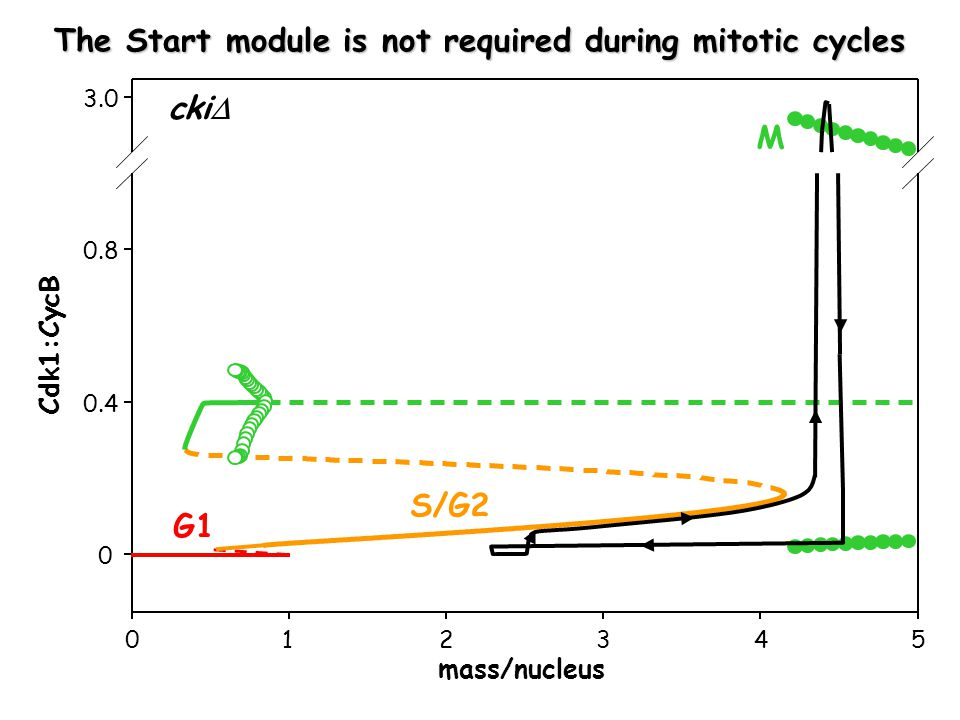 mass/nucleus Cdk1:CycB G1 S/G2 M cki  The Start module is not required during mitotic cycles