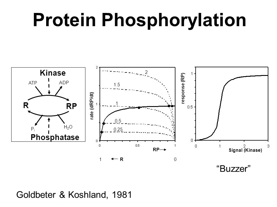 R Kinase RP ATP ADP H2OH2O PiPi Protein Phosphorylation RP rate (dRP/dt) 0.25 0.5 1 1.5 2 Phosphatase response (RP) Signal (Kinase) Buzzer Goldbeter & Koshland, 1981 1 R 0