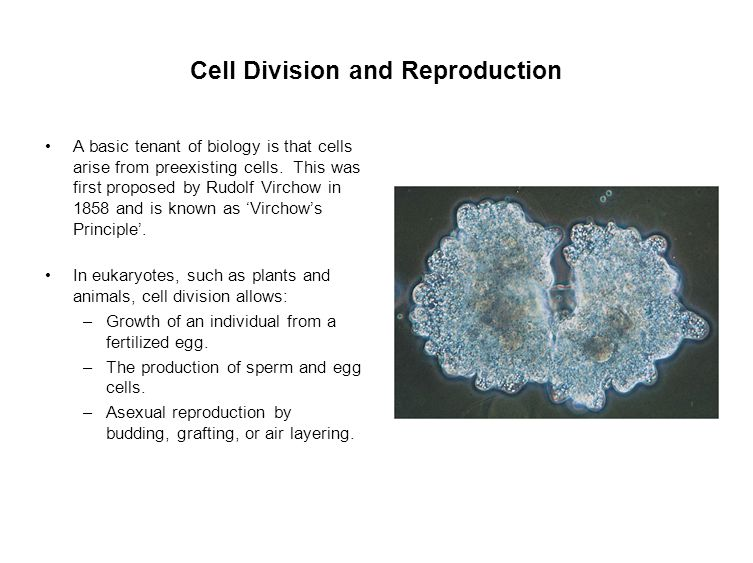 animal cell division In the illustration to the right, a cleave furrow is forming and the cell is dividing into two cells as the plasma membrane pinches inward.