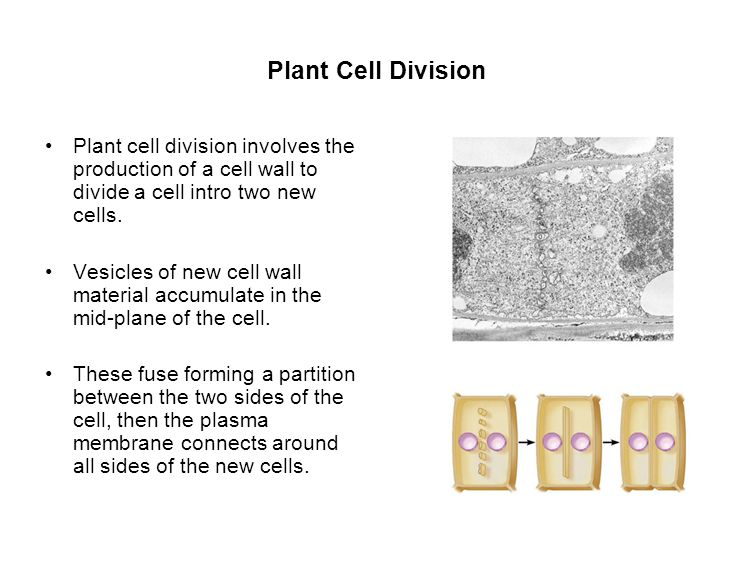 Plant Cell Division Plant cell division involves the production of a cell wall to divide a cell intro two new cells.
