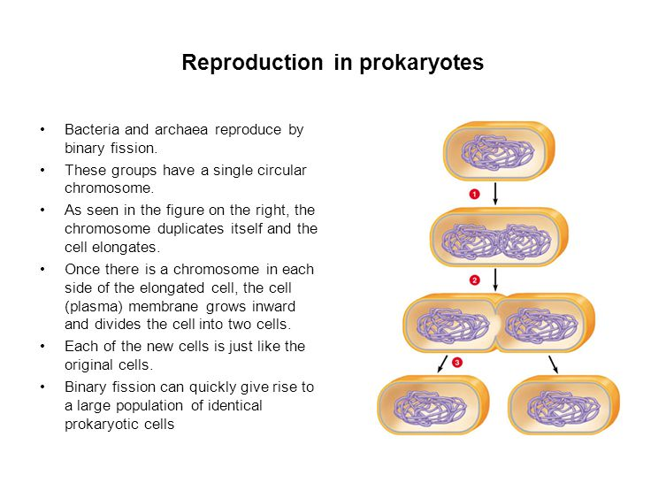 Reproduction in prokaryotes Bacteria and archaea reproduce by binary fission.