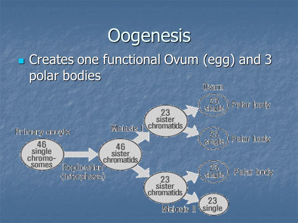 Spermatogenesis Creates four functional sperm cells Creates four functional sperm cells