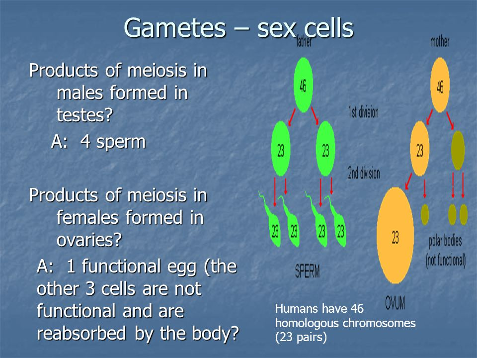Oogenesis Creates one functional Ovum (egg) and 3 polar bodies Creates one functional Ovum (egg) and 3 polar bodies