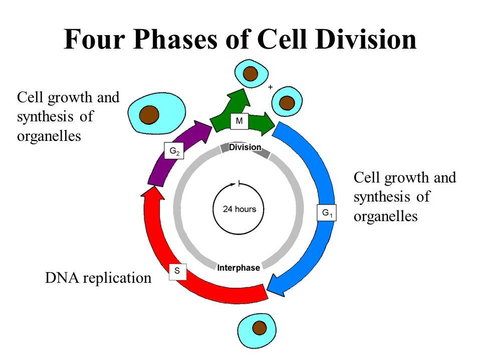 Four Phases of Cell Division Cell growth and synthesis of organelles Cell growth and synthesis of organelles DNA replication