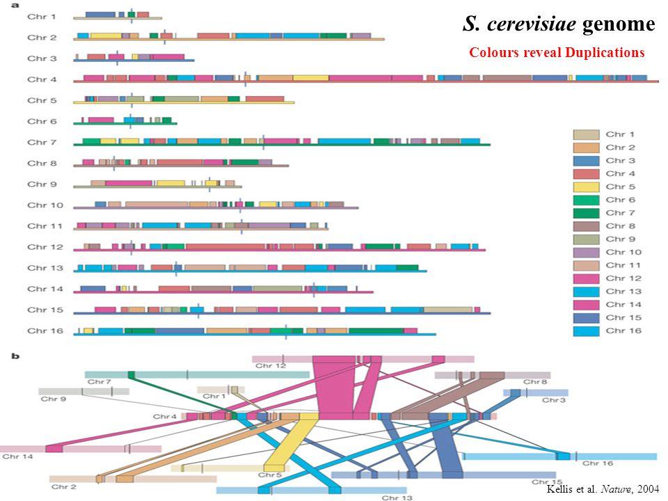 Kellis et al. Nature, 2004 S. cerevisiae genome Colours reveal Duplications