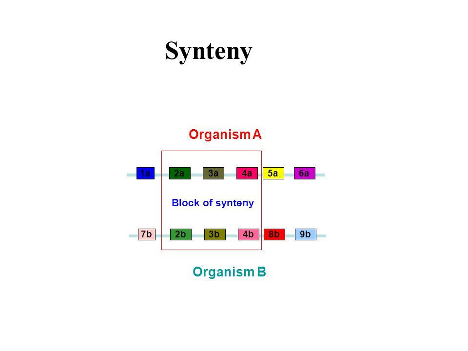 2a4a Organism A Organism B 1a3a5a6a 2b4b7b3b8b9b Block of synteny Synteny