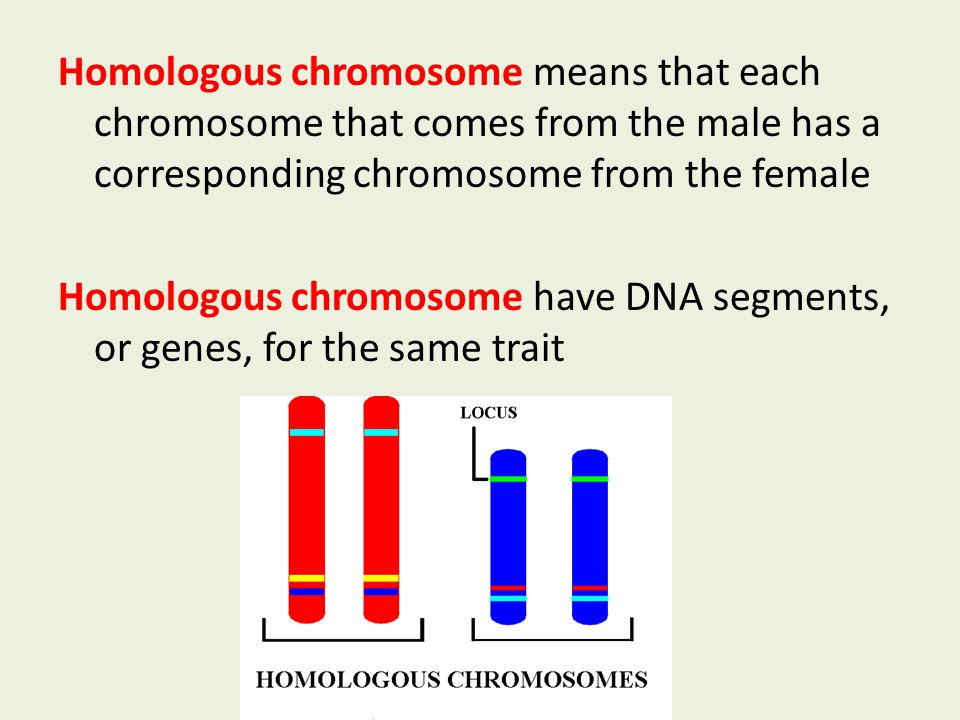 Homologous chromosome means that each chromosome that comes from the male has a corresponding chromosome from the female Homologous chromosome have DNA segments, or genes, for the same trait