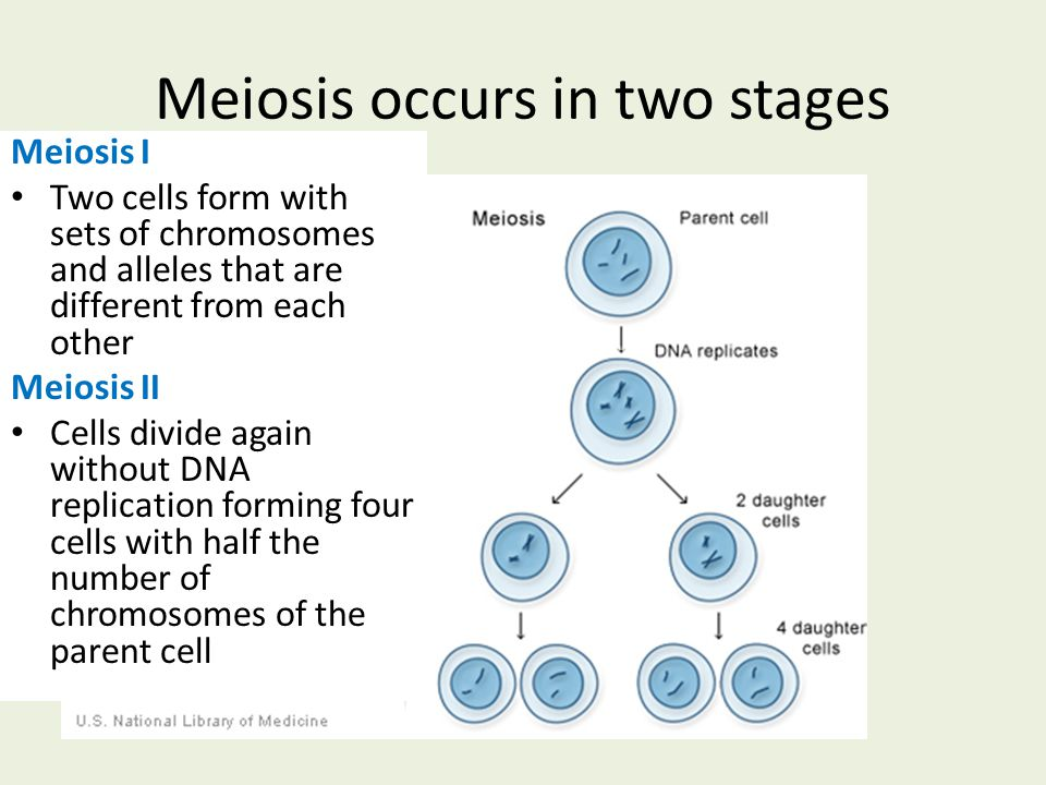 Meiosis occurs in two stages Meiosis I Two cells form with sets of chromosomes and alleles that are different from each other Meiosis II Cells divide again without DNA replication forming four cells with half the number of chromosomes of the parent cell