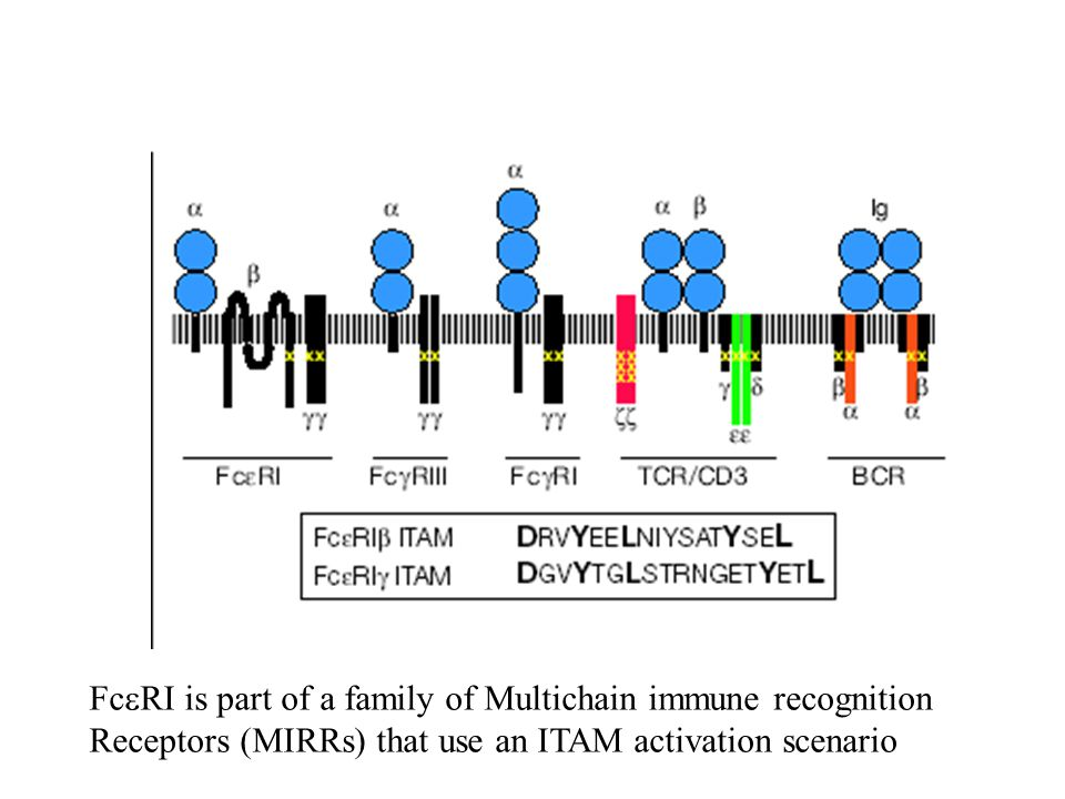 Fc  RI is part of a family of Multichain immune recognition Receptors (MIRRs) that use an ITAM activation scenario