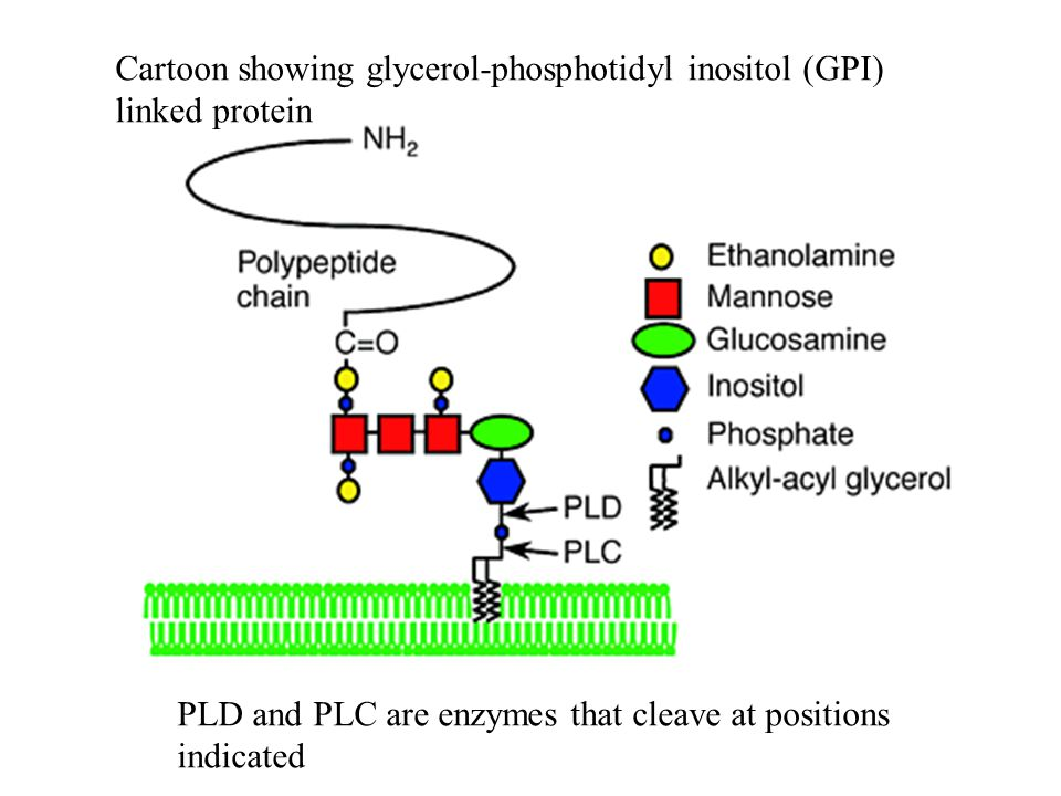 Cartoon showing glycerol-phosphotidyl inositol (GPI) linked protein PLD and PLC are enzymes that cleave at positions indicated