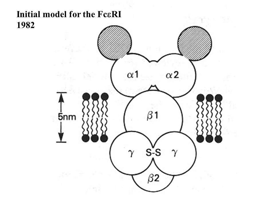Initial model for the Fc  RI 1982