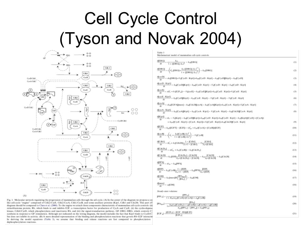 Cell Cycle Control (Tyson and Novak 2004)