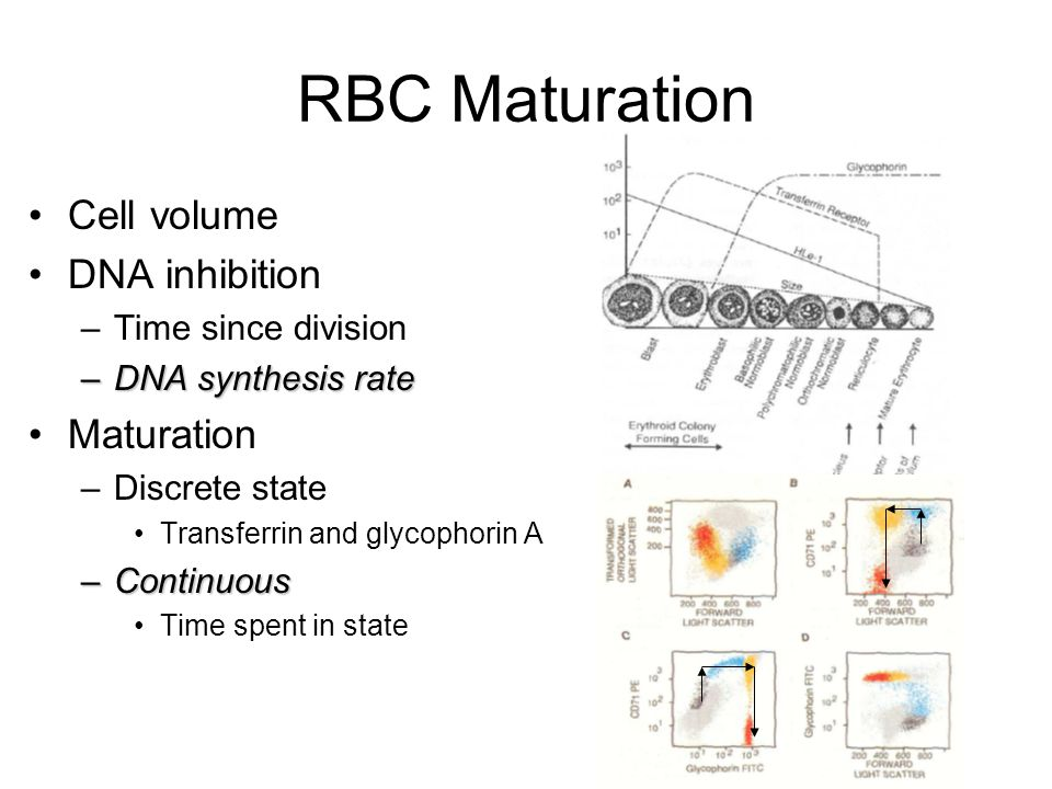 RBC Maturation Cell volume DNA inhibition –Time since division –DNA synthesis rate Maturation –Discrete state Transferrin and glycophorin A –Continuous Time spent in state