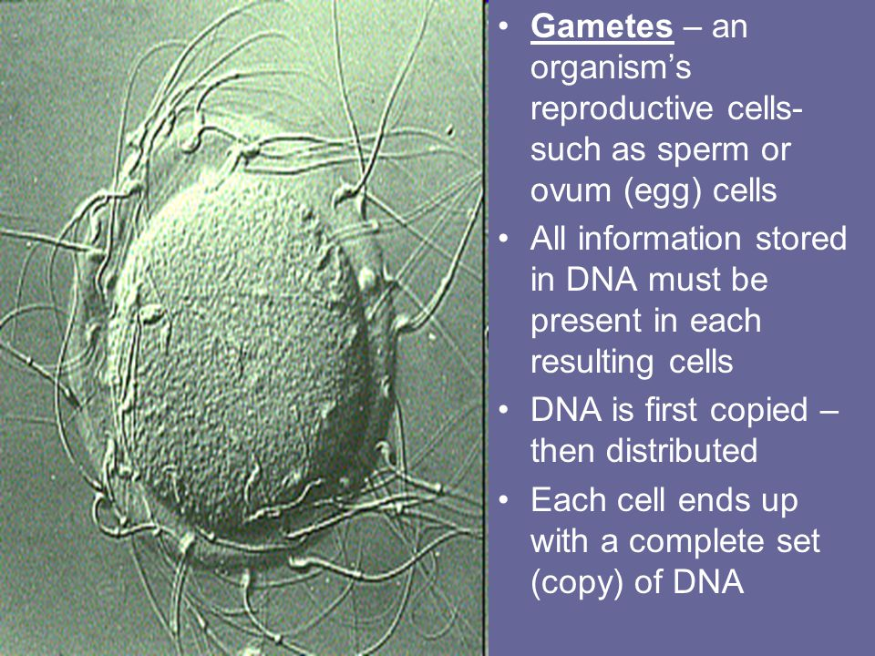 Prokaryotic Cell Reproduction Prokaryote's single DNA molecule is circular & is attached to the inner cell membrane Binary fission – a form of asexual reproduction that produces identical offspring Occurs in 2 stages – 1 st,DNA is copied 2 nd, cell divides