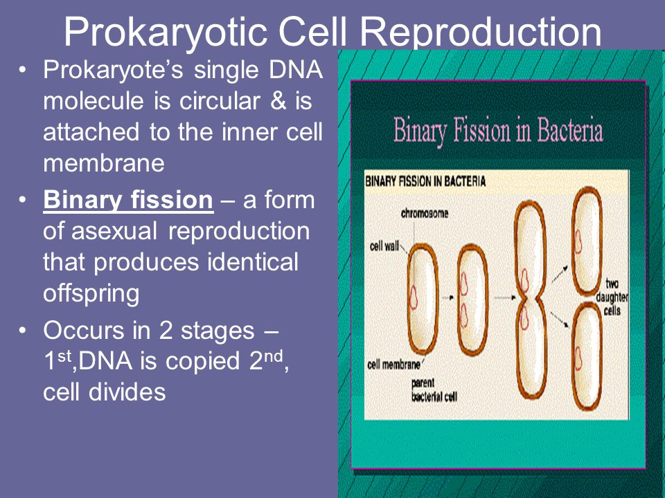 First growth (G 1 ) phase- cell grows rapidly- carries out routine functions- some cells stay in this phase Synthesis (S) phase- Cell's DNA is copied-two chromatids attached at the centromere Second growth (G 2 ) phase- preparations are made for the nucleus to divide – microtubules are rearranged in preparation for mitosis- repair of DNA mistakes