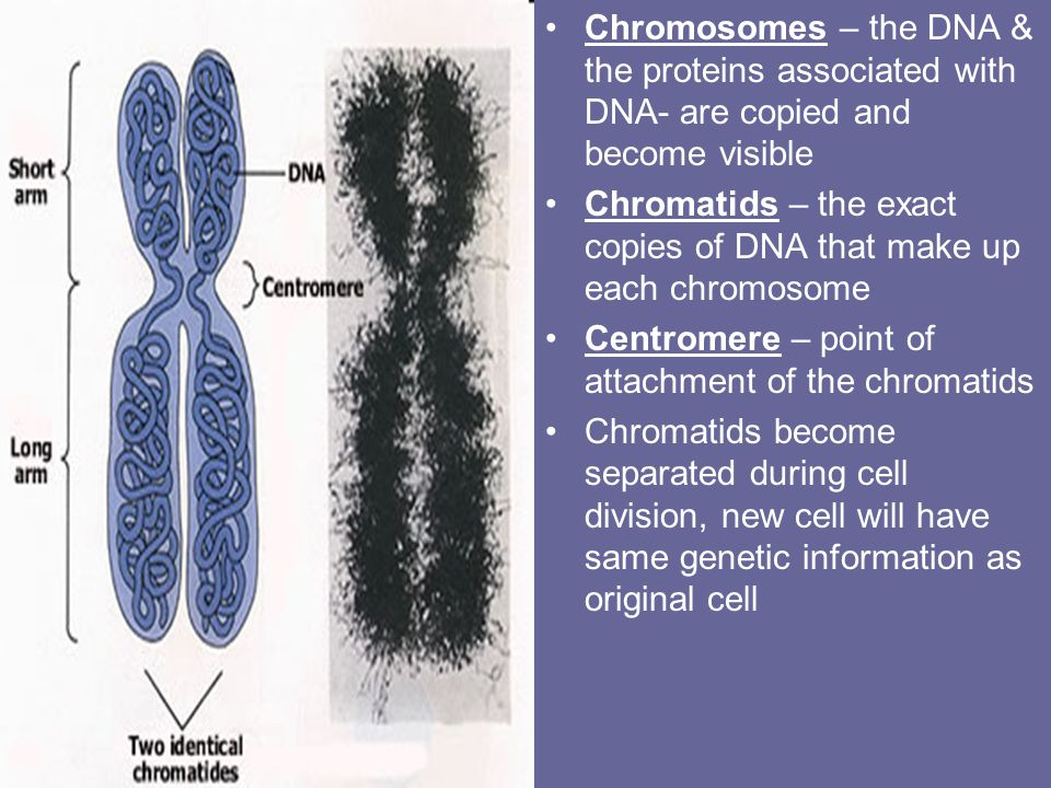 Step 3 Anaphase – chromatids divide (now called chromosomes) move toward opposite poles as spindle fibers shorten Step 4 Telophase – nuclear envelope forms around the chromosomes at each pole; chromosomes begin to uncoil & spindle dissovles & disappear – Mitosis complete