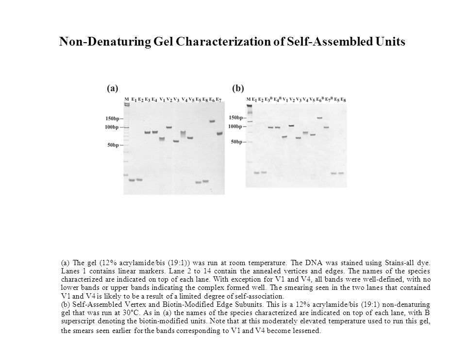 Non-Denaturing Gel Characterization of Self-Assembled Units (a) The gel (12% acrylamide/bis (19:1)) was run at room temperature.