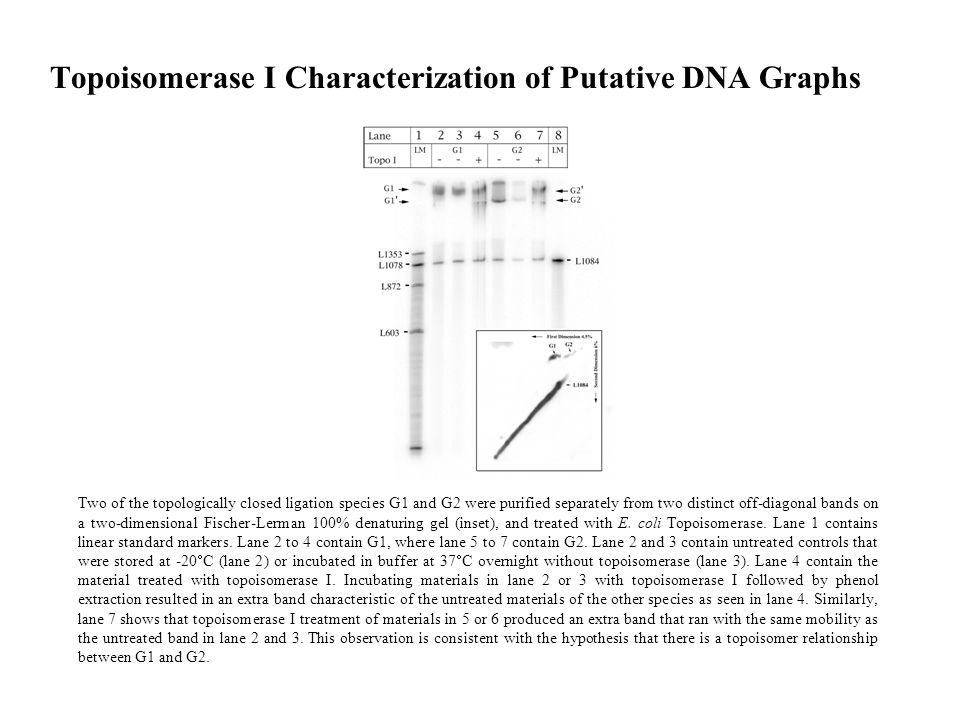 Topoisomerase I Characterization of Putative DNA Graphs Two of the topologically closed ligation species G1 and G2 were purified separately from two distinct off-diagonal bands on a two-dimensional Fischer-Lerman 100% denaturing gel (inset), and treated with E.