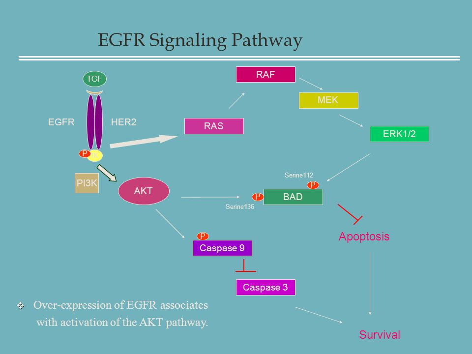 EGFR Signaling Pathway TK TGF RAS RAF ERK1/2 BAD Apoptosis Caspase 9 Caspase 3 Survival AKT EGFR P Serine136 Serine112 P PI3K P   Over-expression of EGFR associates with activation of the AKT pathway.