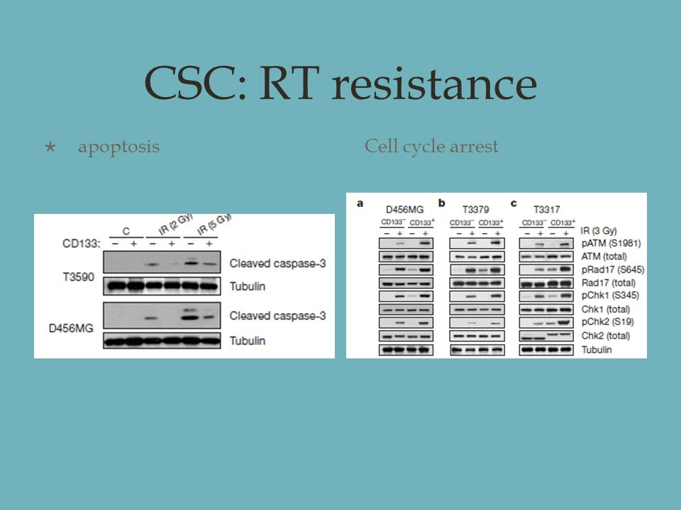 CSC: RT resistance  apoptosisCell cycle arrest