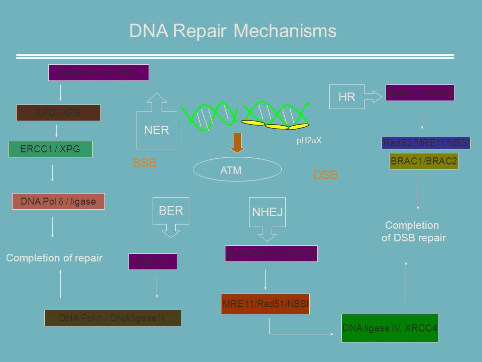 DNA Repair Mechanisms ATM DSB Rad51 /Rad52 Rad52/MRE11/NBSI BRAC1/BRAC2 Completion of DSB repair DNA-PKcs / Ku80/70 MRE11/Rad51/NBSI DNA ligase IV, XRCC4 RNA Pol II or XPC XPD / XPB ERCC1 / XPG Completion of repair DNA Pol  / ligase DNA Pol  / DNA ligase III XRCC1 BER NHEJ HR pH2aX NER SSB