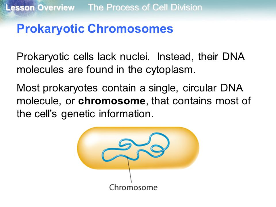 Lesson Overview Lesson Overview The Process of Cell Division Prokaryotic Chromosomes Prokaryotic cells lack nuclei. Instead, their DNA molecules are f