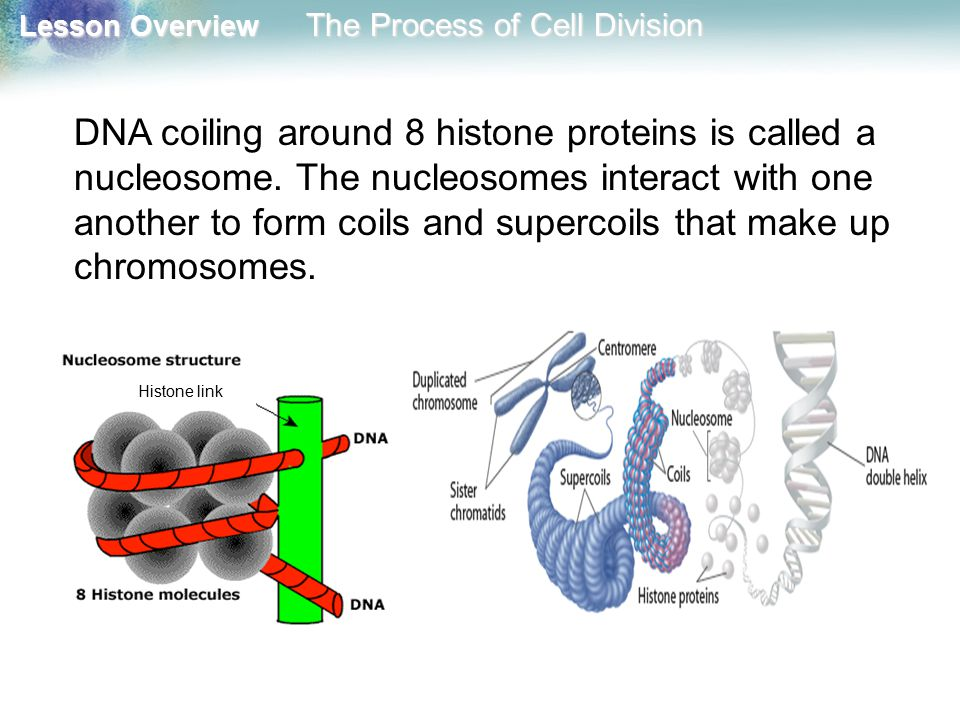 Lesson Overview Lesson Overview The Process of Cell Division The Prokaryotic Cell Cycle During the cell cycle, a cell grows, prepares for division, and divides to form two daughter cells.