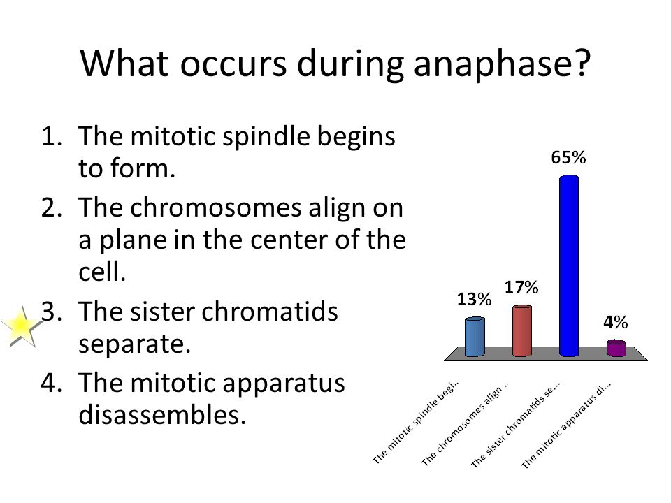 What occurs during anaphase? 1.The mitotic spindle begins to form. 2.The chromosomes align on a plane in the center of the cell. 3.The sister chromati
