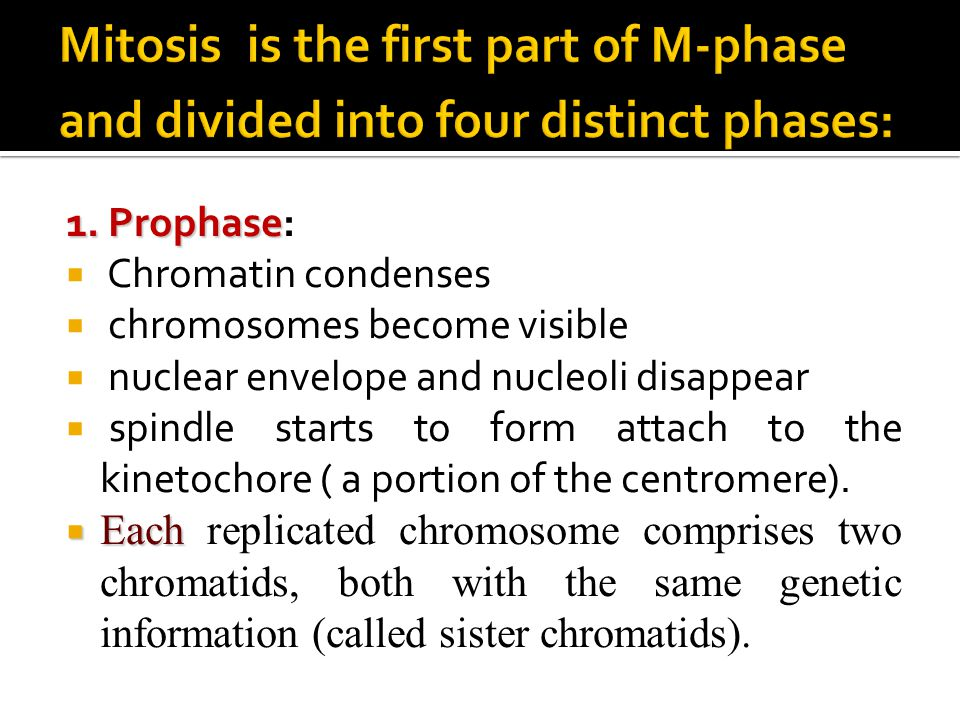 1. Prophase 1. Prophase:  Chromatin condenses  chromosomes become visible  nuclear envelope and nucleoli disappear  spindle starts to form attach