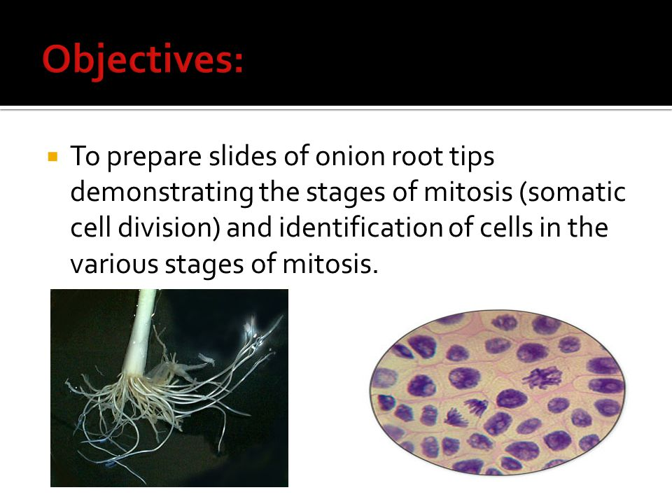  To prepare slides of onion root tips demonstrating the stages of mitosis (somatic cell division) and identification of cells in the various stages o