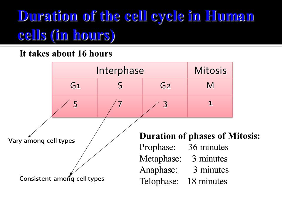Duration of phases of Mitosis: Prophase: 36 minutes Metaphase: 3 minutes Anaphase: 3 minutes Telophase: 18 minutes Vary among cell types Consistent am