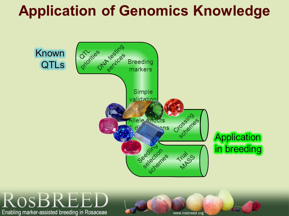 Application of Genomics Knowledge Breeding markers DNA testing services QTL priorities Crossing schemes Trial MASS Simple validation Allele effects &