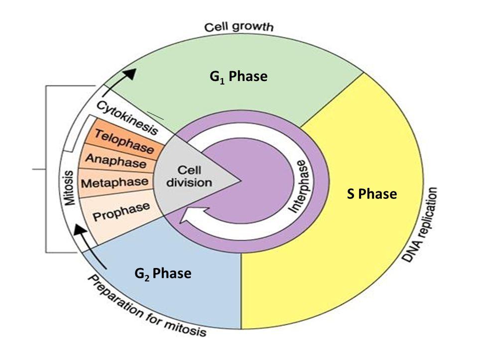 G 1 Phase S Phase G 2 Phase