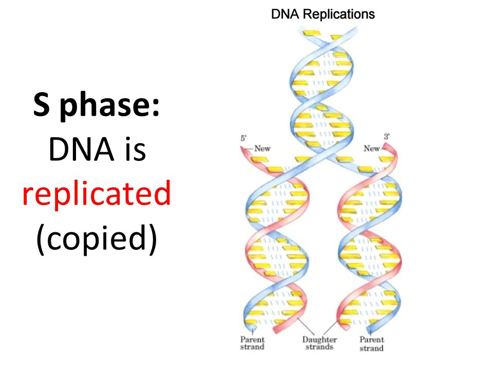 S phase: DNA is replicated (copied)