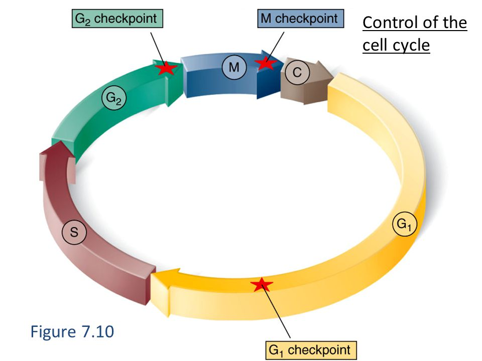 Figure 7.10 Control of the cell cycle