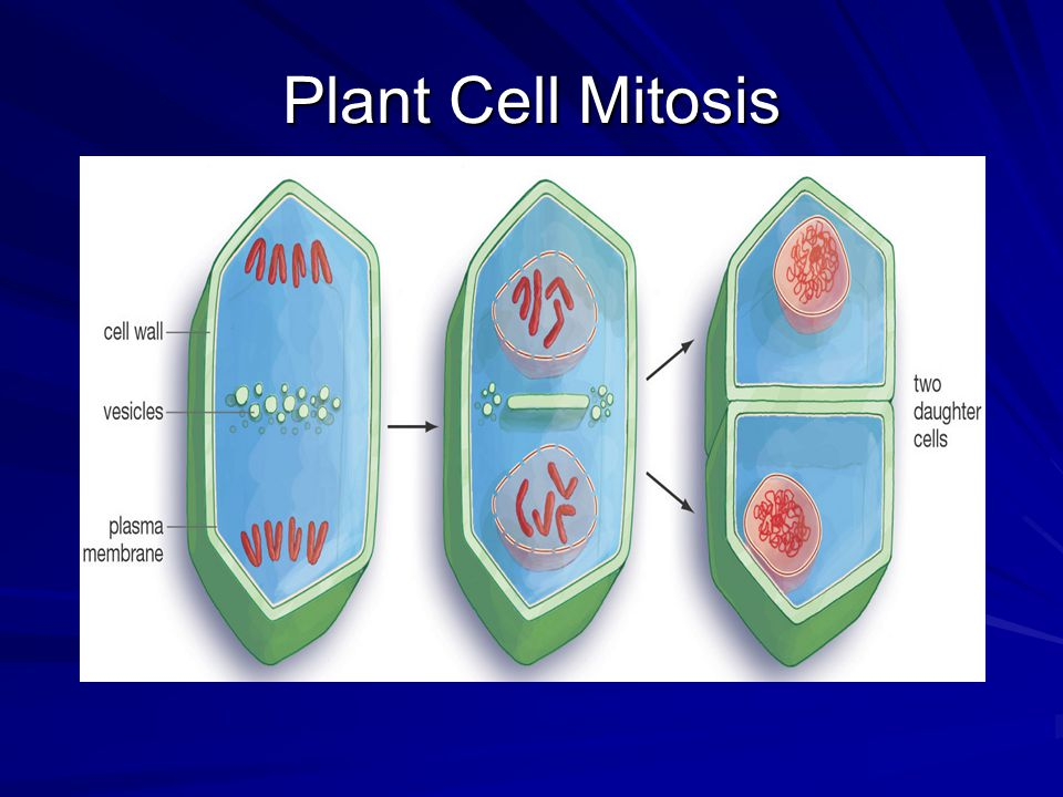 Plant Cell Mitosis