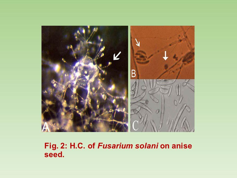 Fig. 2: H.C. of Fusarium solani on anise seed.