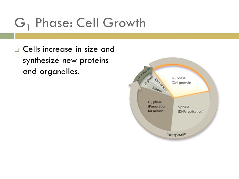 G 1 Phase: Cell Growth  Cells increase in size and synthesize new proteins and organelles.
