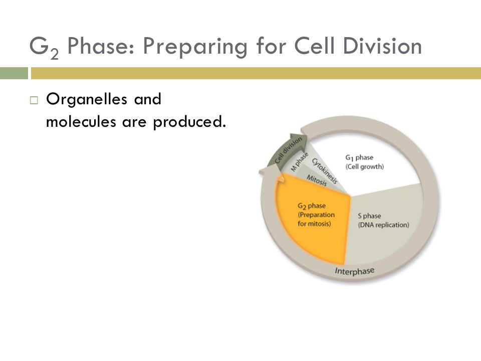 G 2 Phase: Preparing for Cell Division  Organelles and molecules are produced.