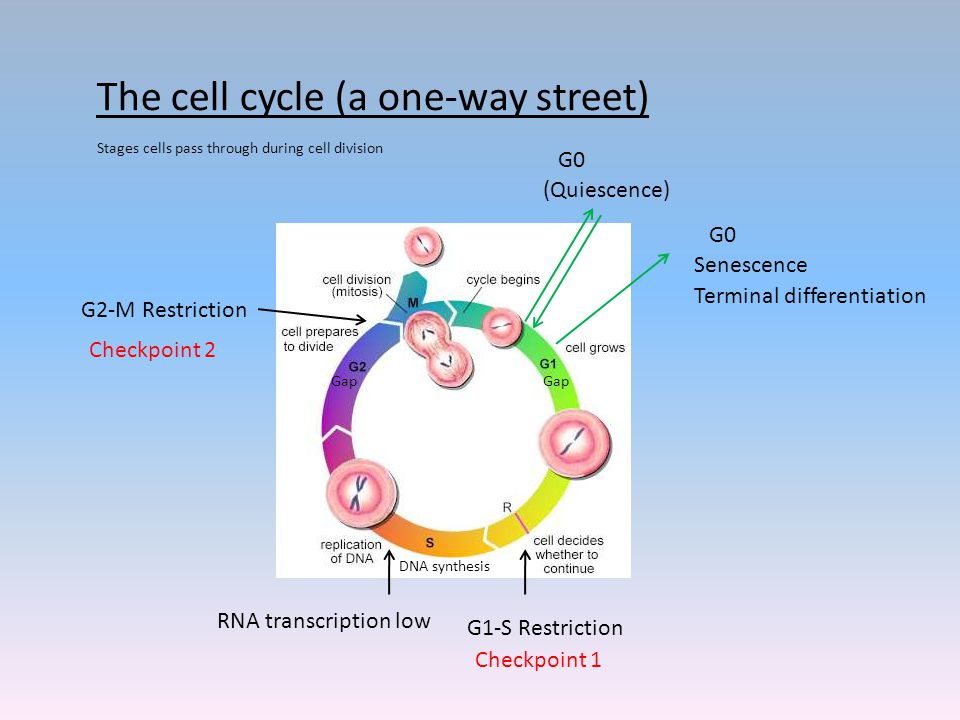 The cell cycle (a one-way street) G0 (Quiescence) Gap DNA synthesis G1-S Restriction G2-M Restriction G0 Senescence Terminal differentiation RNA transcription low Stages cells pass through during cell division Checkpoint 1 Checkpoint 2