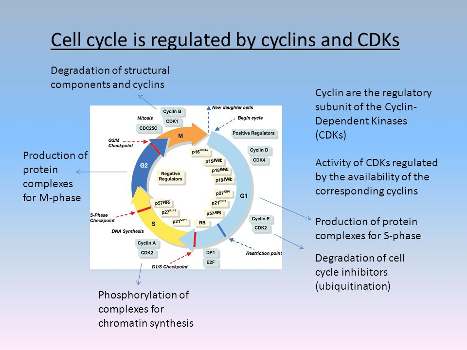 Cell cycle is regulated by cyclins and CDKs Cyclin are the regulatory subunit of the Cyclin- Dependent Kinases (CDKs) Activity of CDKs regulated by the availability of the corresponding cyclins Phosphorylation of complexes for chromatin synthesis Production of protein complexes for S-phase Degradation of cell cycle inhibitors (ubiquitination) Production of protein complexes for M-phase Degradation of structural components and cyclins