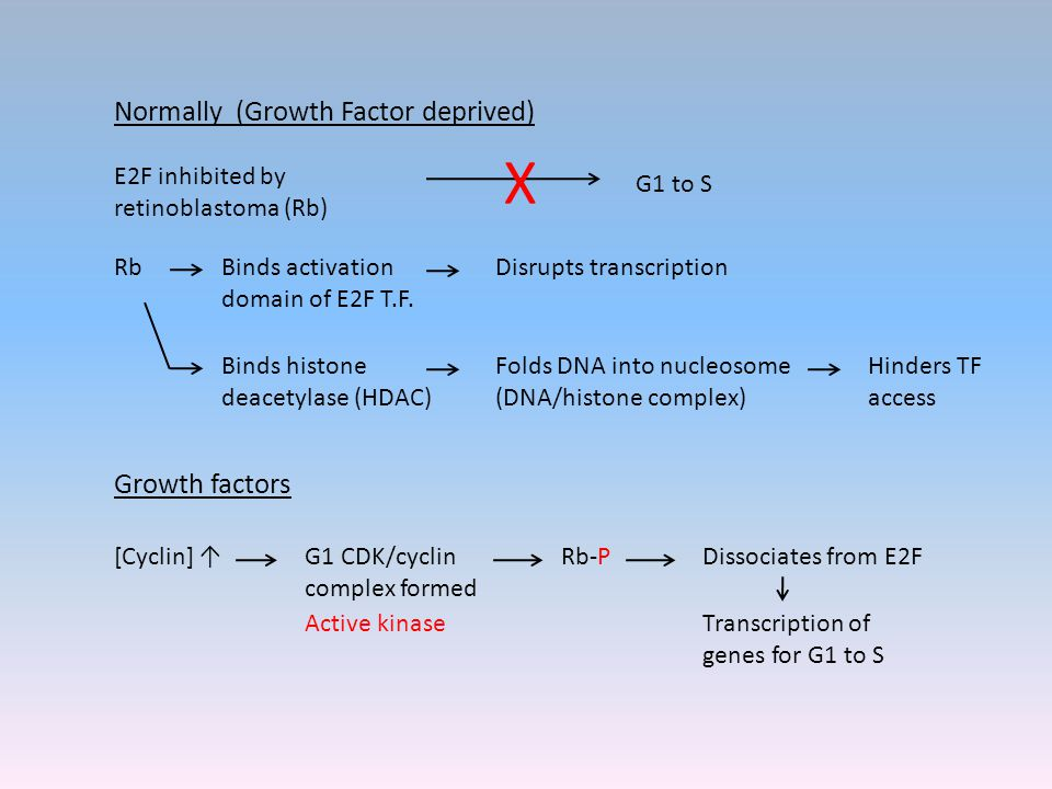 Normally (Growth Factor deprived) E2F inhibited by retinoblastoma (Rb) G1 to S X Rb Growth factors [Cyclin] ↑G1 CDK/cyclin complex formed Active kinase Rb-PDissociates from E2F Transcription of genes for G1 to S Binds activation domain of E2F T.F.